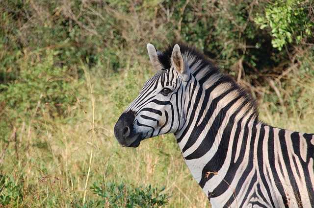 This is an image of a zebra in the wild