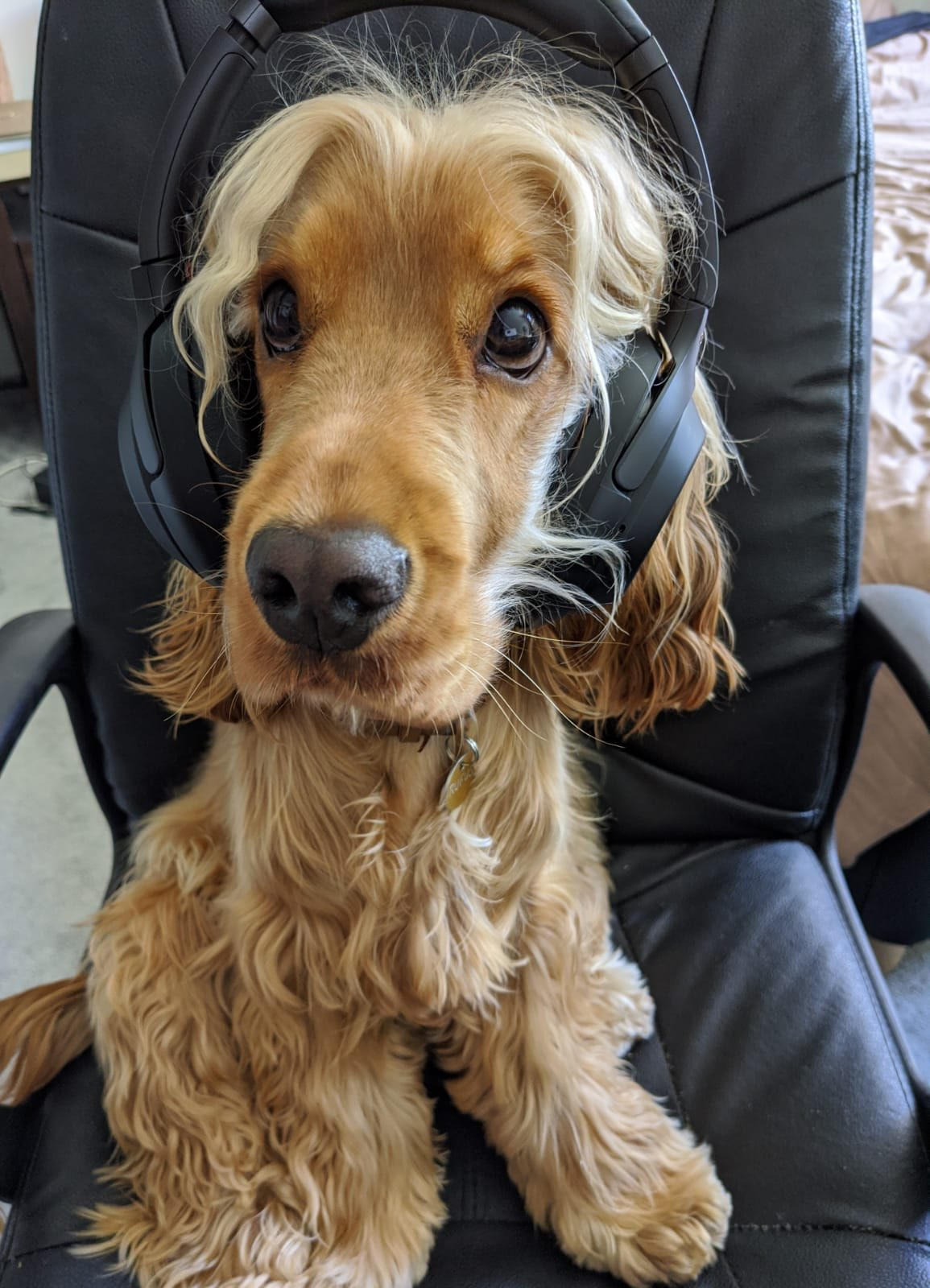 Dog sitting on chair wearing headphones