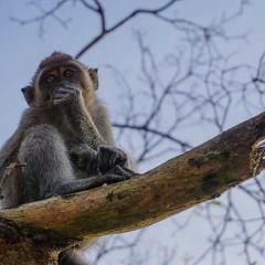Monkey in a tree in Borneo