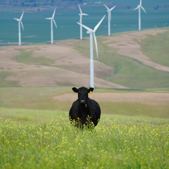 black cattle on meadow with wind turbines in the background