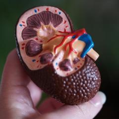 Image of a plastic model kidney
