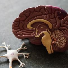 Plastic model of a brain and cell