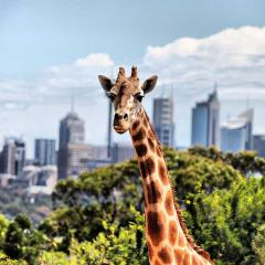 Giraffe at Taronga Zoo by Eva Rinaldi